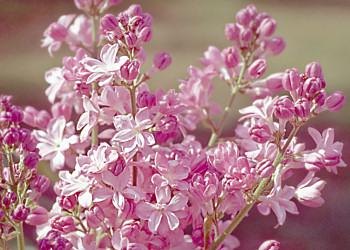 Syringa  vulgaris 'Edward J. Gardner'